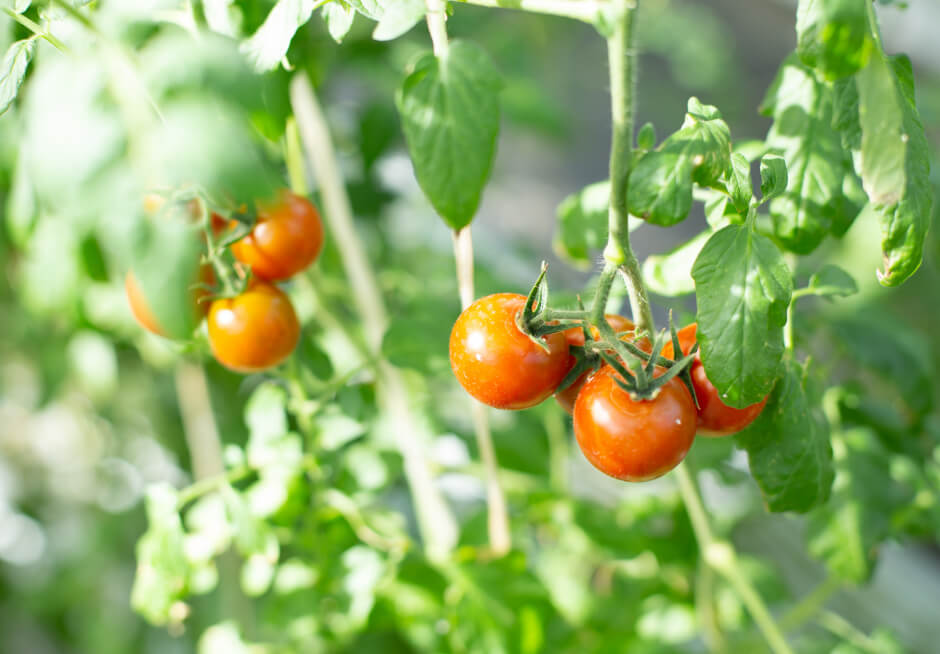 栽培されたトマトの写真